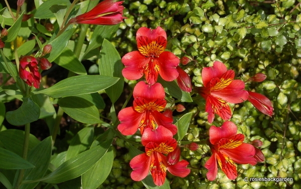 Alstroemeria 'Red Beauty'